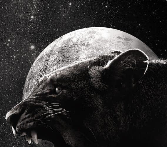 black_lioness-568×852